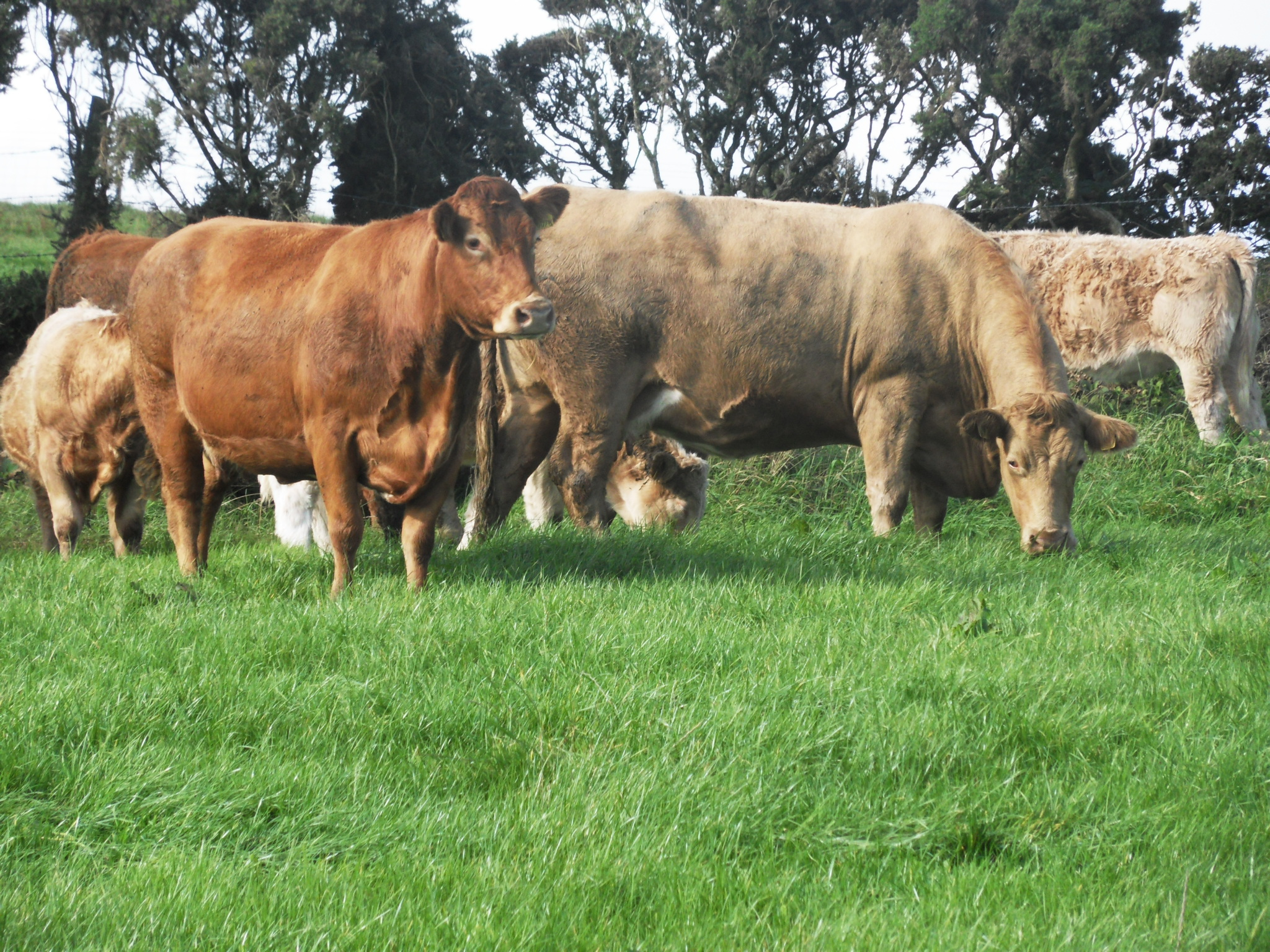 a study on twinning in cattle This article is brought to you for free and open access by the us department of  agriculture: agricultural research service, lincoln, nebraska at.