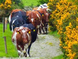 Healthy Cows