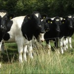 Weanling heifers