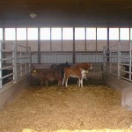 Calf shed